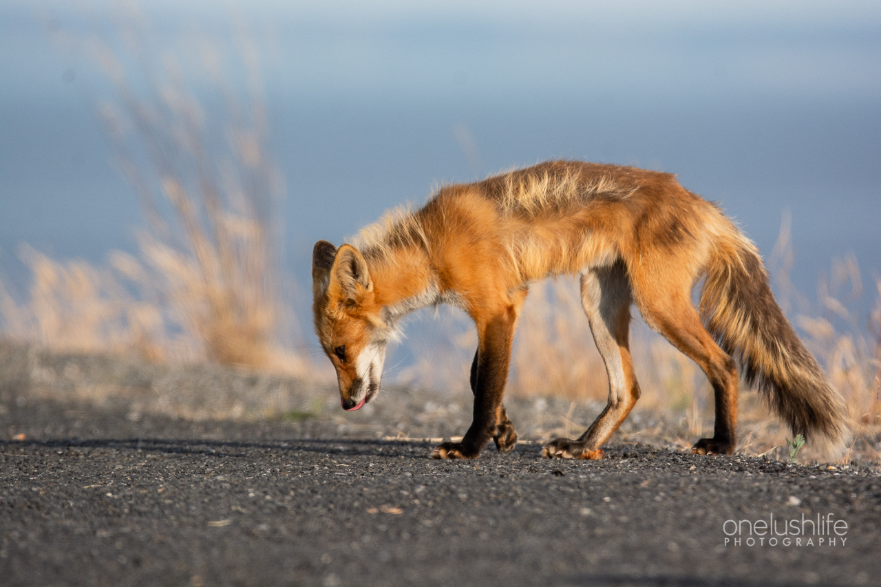 Red Foxes of San Juan Island – Part 2