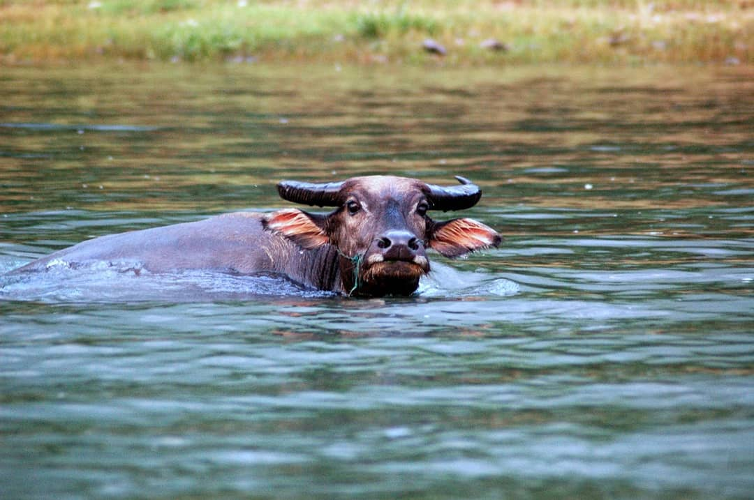 Curious water ox